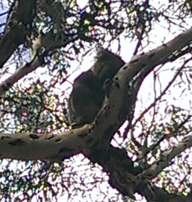 #Koalas #Morialta #South Australia